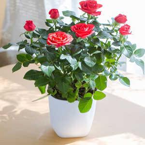 گلدان شیائومی
